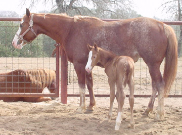 Splash with her new born colt